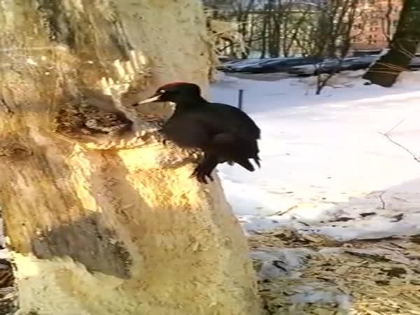 Datel usilovně rozebírá strom