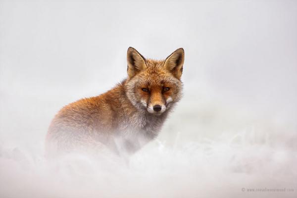 GALERIE – Divoké lišky ve sněhu