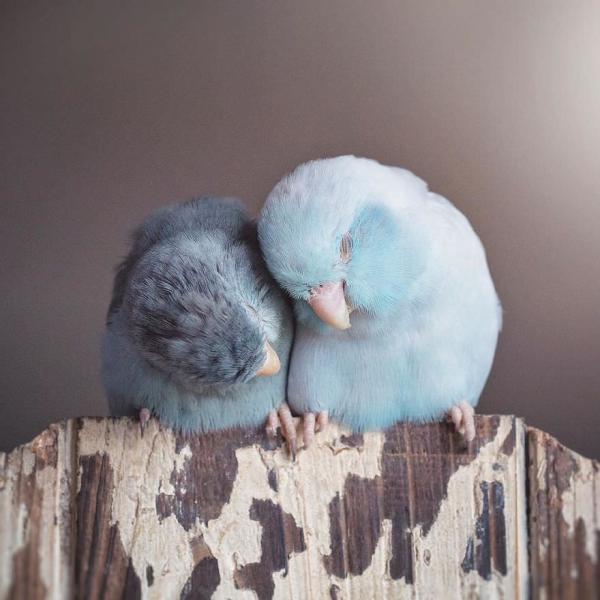 GALERIE - Láska mezi papoušíčky