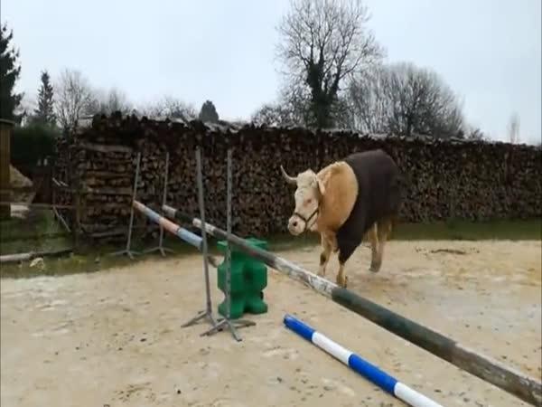 Býk s koňskými návyky