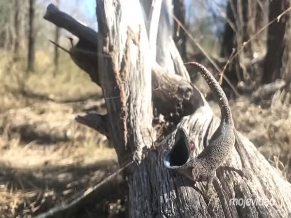 Obranný mechanismus gekona