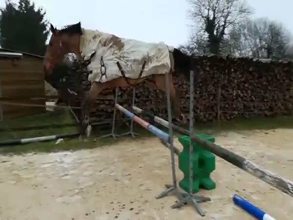 Trénovat na dostihy se dají i krávy!