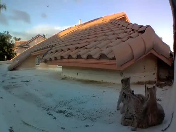 Rodina rysů na střeše