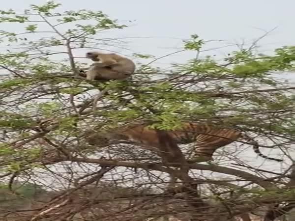 Tygr, který se snaží chytit opici