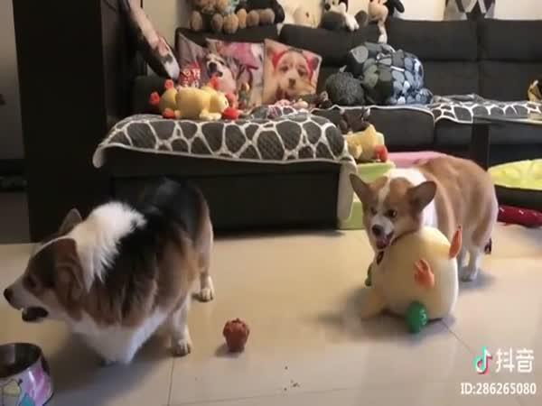 Strážní pes Corgi
