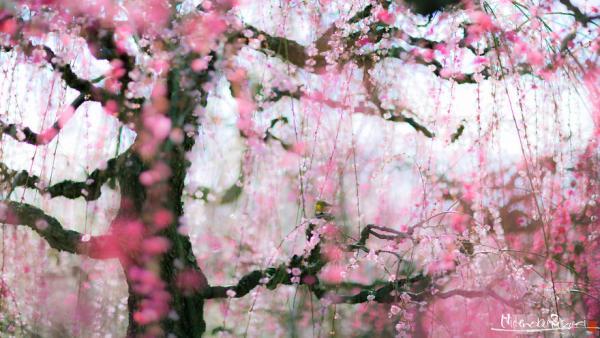 GALERIE – TOP 20 kvetoucích sakur