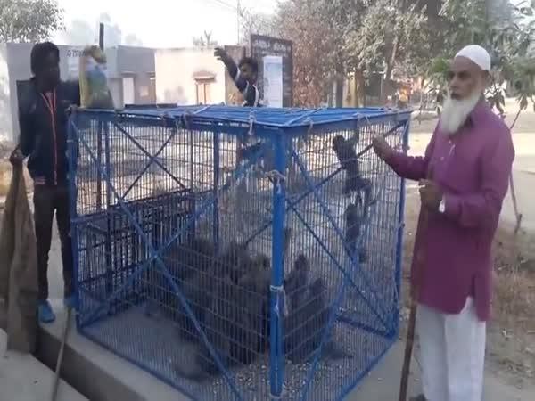 Jak se v Indii odchytávají makakové