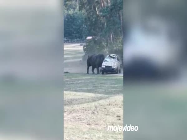 Německo - Nosorožec vs. auto