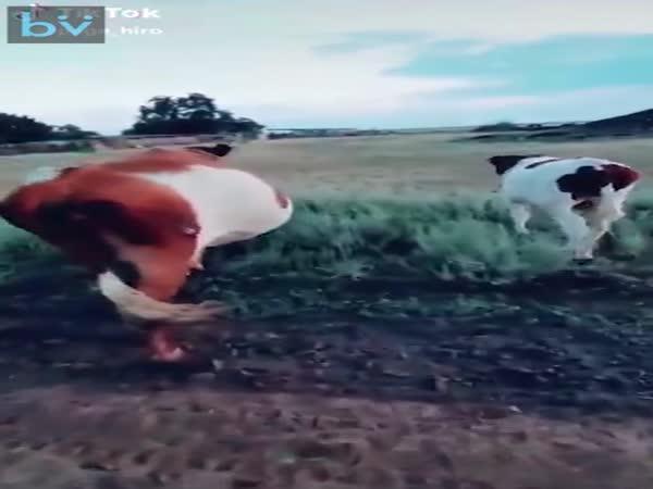 Jak zastavit krávu
