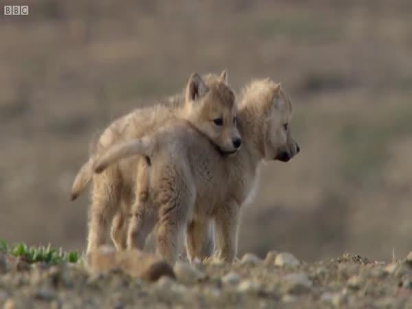 Samice vlka loví zajíce