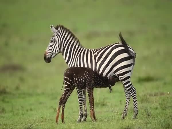 Puntíkovaná zebra