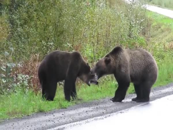 Boj medvědů o teritorium