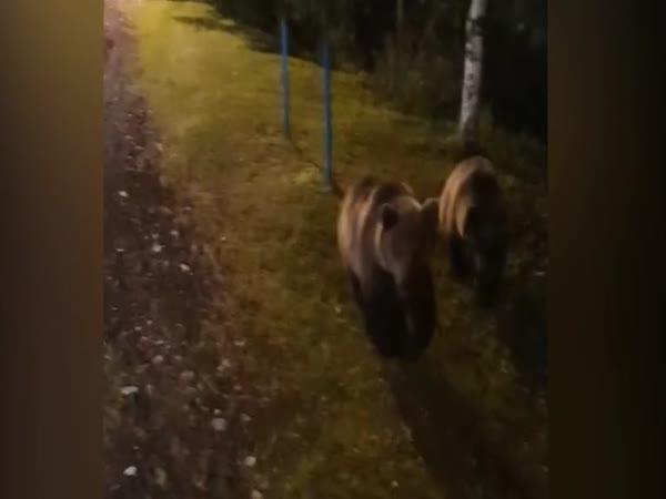 Slovensko – Přemnožení medvědi
