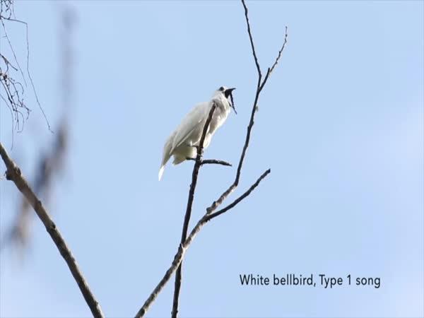 Nejhlasitější pták na světě
