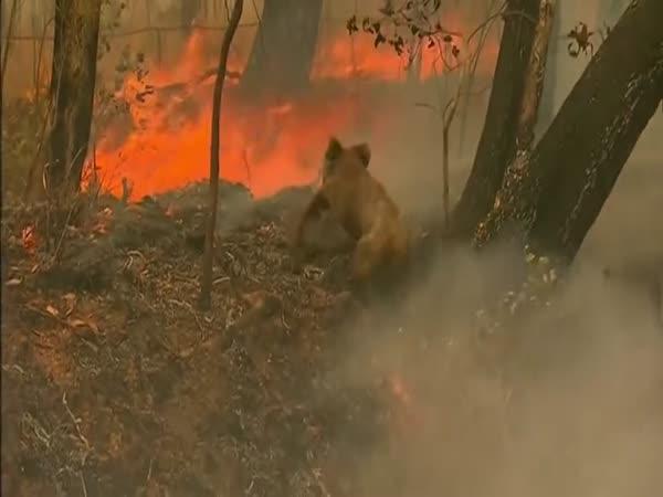 Žena zachránila koalu před ohněm
