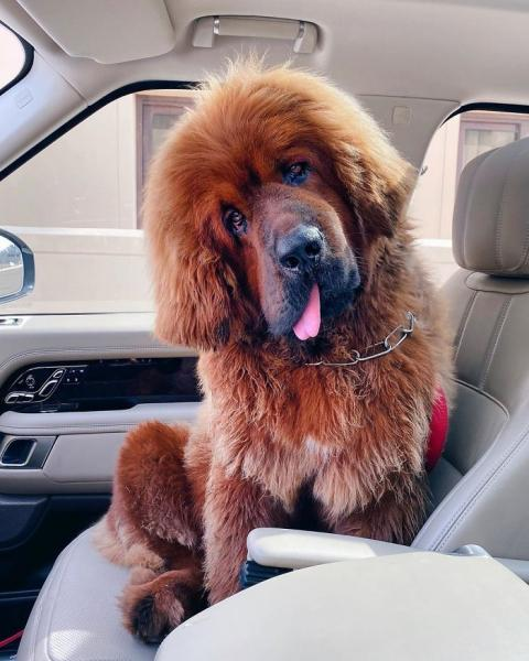 GALERIE – Největší psí plemeno