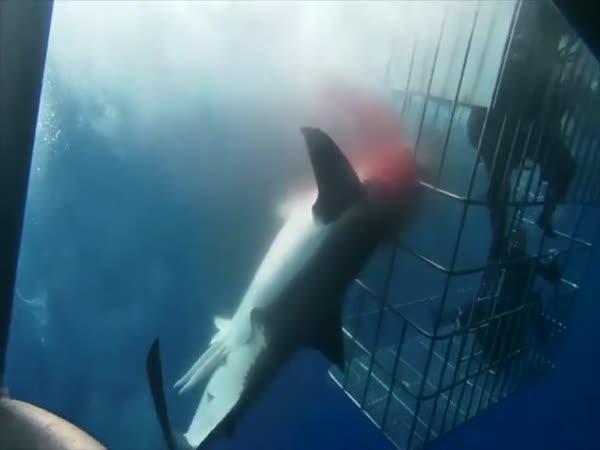 Žralok vykrvácel kvůli své agresi