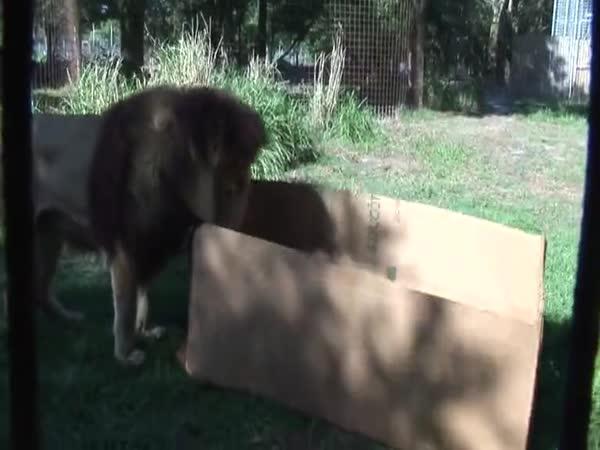 I velké kočky zbožňují krabice!
