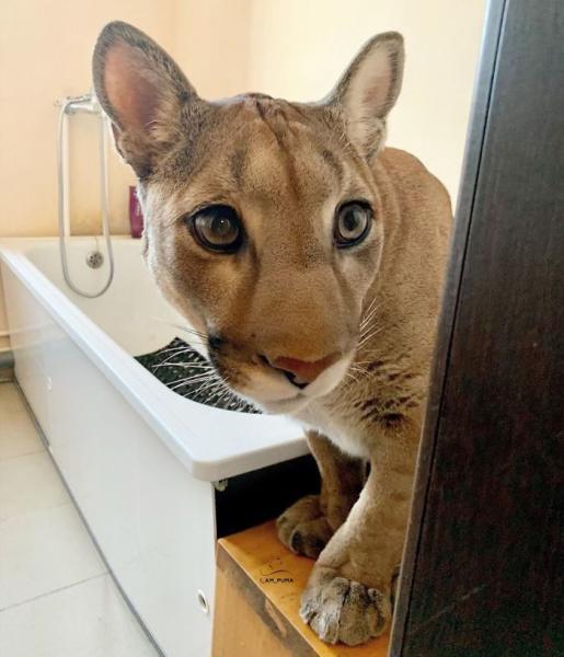 GALERIE – Puma jako domácí mazlíček