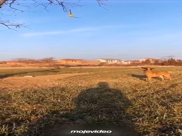 Pes nebo klokan?