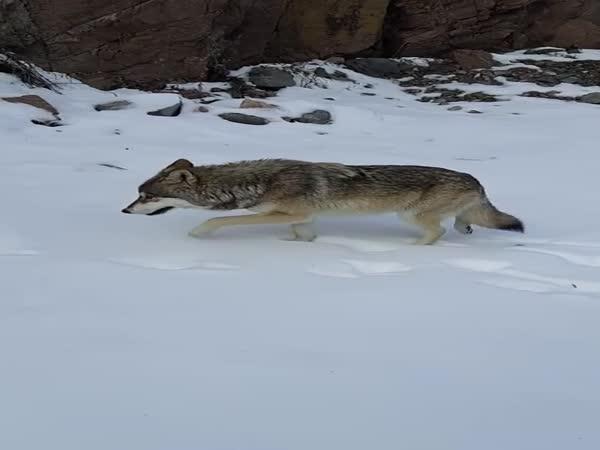 Setkání muže s vlkem