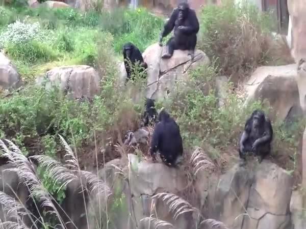 Šimpanzi si podali mývala