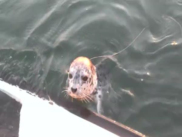 Zvědavé mládě tuleně