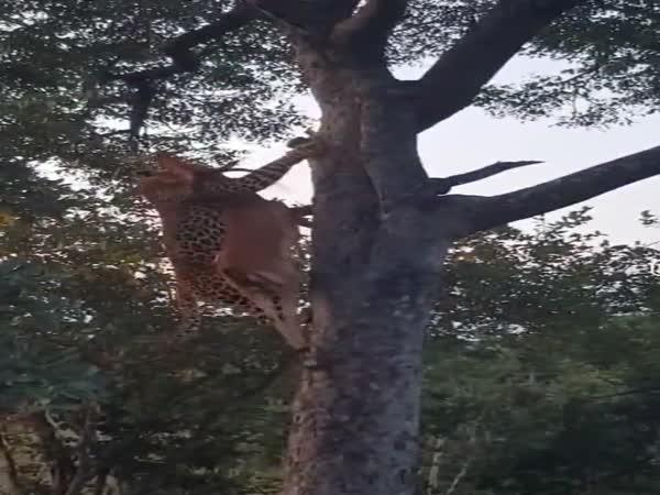 Levhart si vytáhl kořist na strom