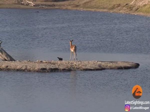 Antilopa vs. krokodýl vs. hroch