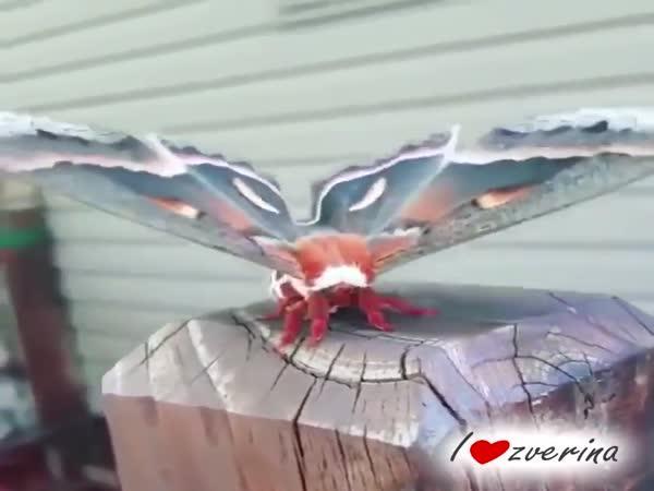 Největší motýl Severní Ameriky