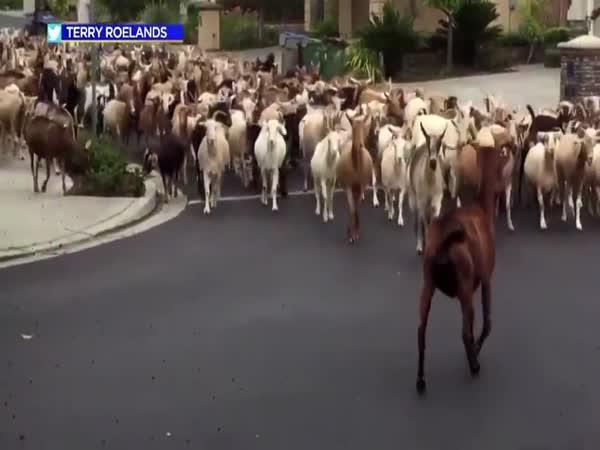 Kozy na útěku