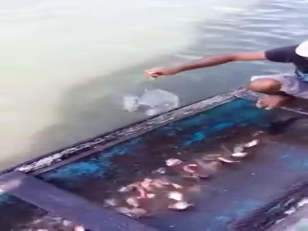 Jak se loví piraně