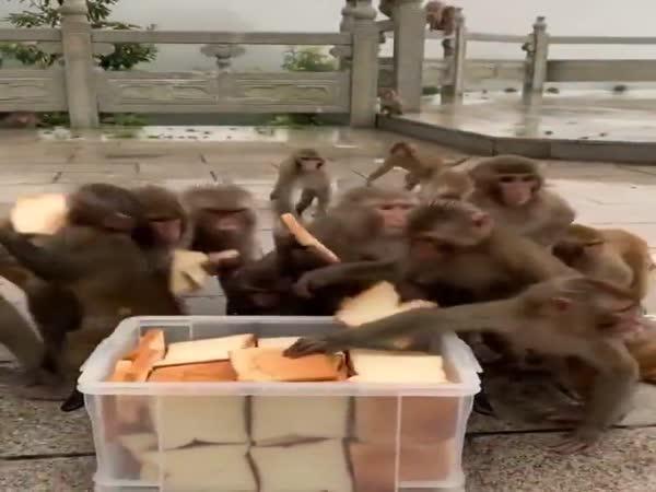 Opice mají rády sendviče