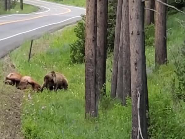 Medvěd grizzly zaútočil na losa