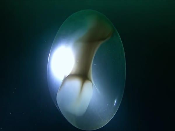 Objev v moři: tisíce malých chobotnic