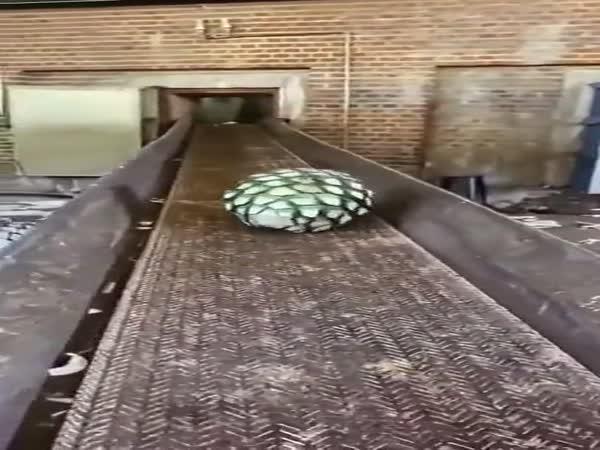 Výroba tequily z agáve
