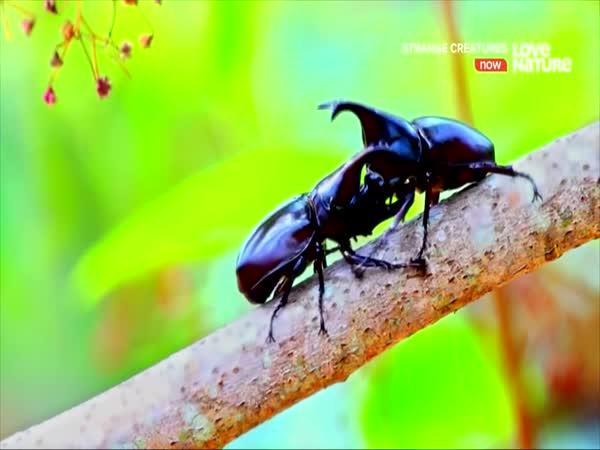 Nejsilnější chrobák na světě