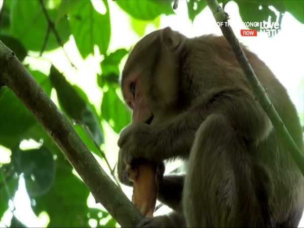 Mladý makak dostal chuť na maso