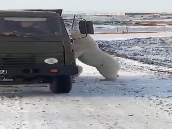 Medvědi se chtějí svézt autem