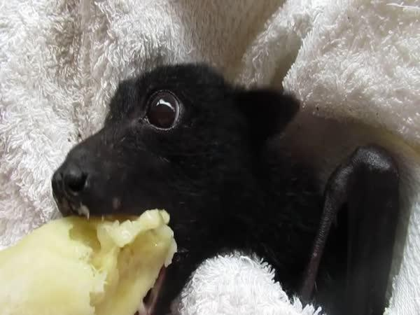 Zachráněné zvířátko si dává banán