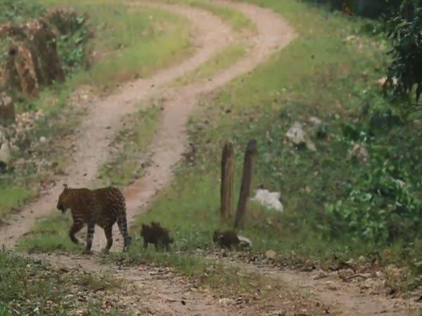 Leopardí matka s mláďaty na procházce