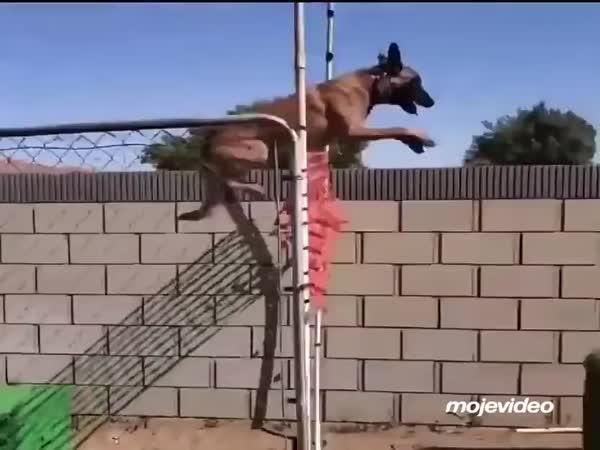 Skvěle trénovaný belgický ovčák