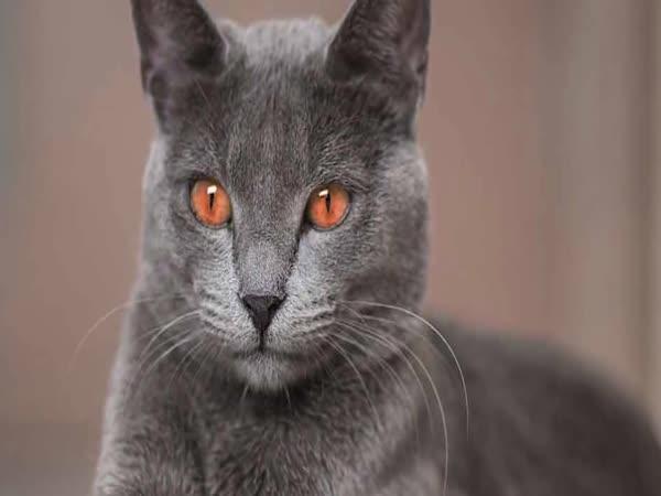 Nejdivnější kočičí plemena