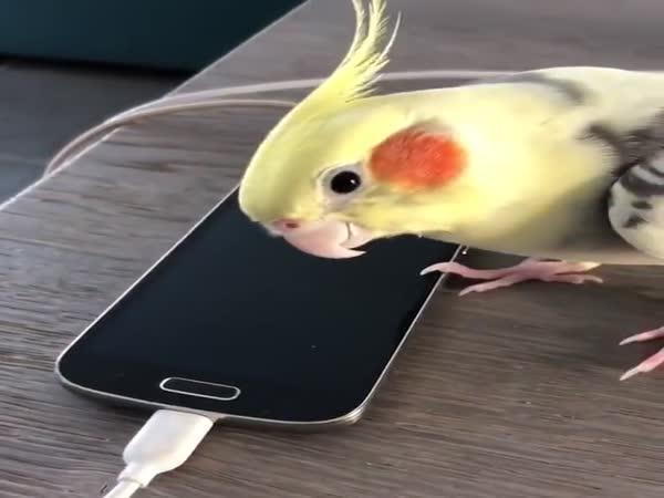 Papoušek napodobuje vyzvánění mobilu