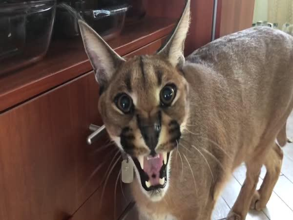 Karakal – Temperamentní druh kočky