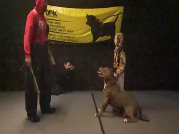 Pitbull poslouchá 9letého chlapce