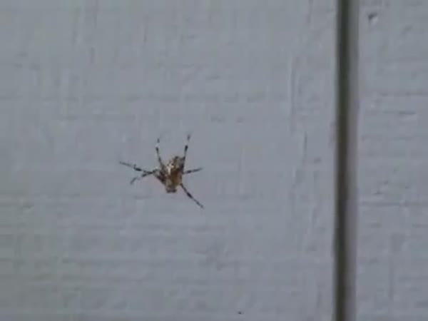 Pavouk, který se bojí zvuků