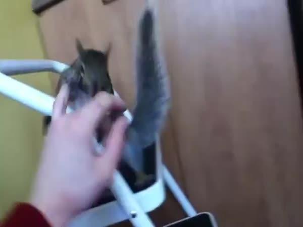 Veverka jako domácí mazlíček