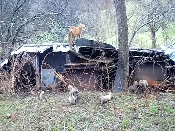 Líška chrání svá mláďata