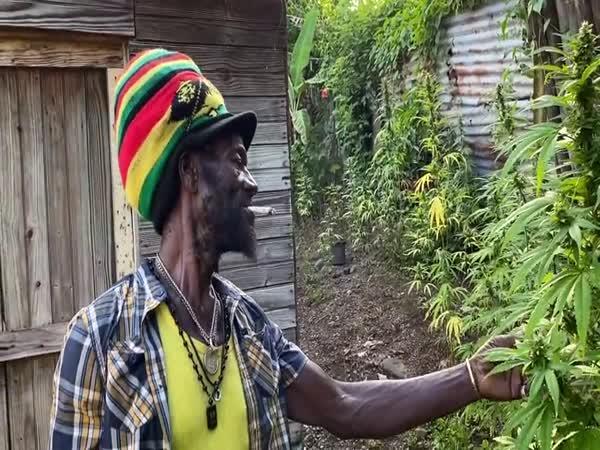 """Jamajčan ukazuje svou """"zahradu"""""""